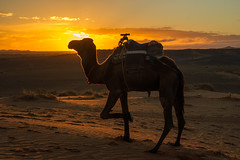 A camel posing at the morning sun (Thanasis Maikousis) Tags: ifttt 500px morocco visit travel tourist tourism africa colors camel merzouga sahara desert berber dawn sunrise animal stinky smelly sand must see go tod list bucketlist