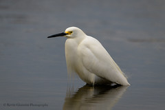 Snowy Egret (Kevin James54) Tags: carolinabeachlake egrettathula nikond850 snowyegret tamron150600mm wilmington animals avian bird kevingianniniphotocom