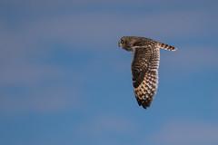 Hibou des marais - Short-eared Owl - Asio flammeus (Suzanne Houle) Tags: hiboudesmarais shortearedowl hibou owl