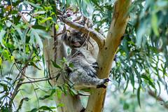 Drop Bear (Jared Beaney) Tags: canon6d canon australia australian photography photographer travel victoria phillipisland wildlife fauna animal animals koala koalaconservationcentre