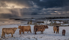 Highland Hardy Cattle (Explored) (Impact Imagz) Tags: highlandcattle highlanders highlandcow calves cattle cows gressbeach gress gresslodge crofting crofts isleoflewis outerhebrides westernisles rurallife hebrides hebrideanskies hebrideanlight hebrideanlandscapes winter winterlight wintercolour winterscene weather canon scotland cloudsstormssunsetssunrises explored flickrexplore inexplore