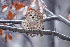 Abominable Snow Owl... (DTT67) Tags: barredowl owl snowfall birdofprey raptor bird canon1dxmkii 500mmii 14xtciii 1dxmkii canon snow winter nature wildlife