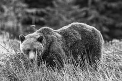 Evil Eye (FireDevilPhoto) Tags: bear brownbear wildlife animal nature mammal animalsinthewild carnivore forest alaskausastate outdoors brown large canada oneanimal cute wildernessarea grizzly salmon fishing