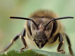 Honey Bee (Stefan Verheyen) Tags: bee belgium macro