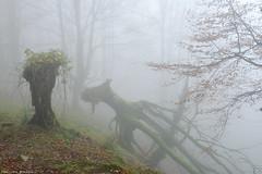 The Fallen Giant (Hector Prada) Tags: otoño autumn fog niebla mist bruma forest bosque fallen leaves hojas mystic nature naturaleza enchanted encantado dreamy misterious mood woods basquecountry paísvasco