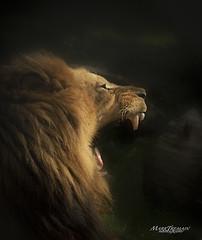 ROARING (Through-my-eyes.) Tags: lion cat bigcat zoo dartmoorzoologicalpark plymouth king mane roaring teeth tooth