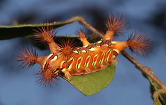 "Stinging Nettle Slug Caterpillar (Cup Moth, Setora sp., Limacodidae) ""The Clown"" (John Horstman (itchydogimages, SINOBUG)) Tags: insect macro china yunnan itchydogimages sinobug entomology canon cup moth lepidoptera limacodidae stinging nettle slug caterpillar larva clown theclown sky red blue tweet topf25 topf50 fb top"