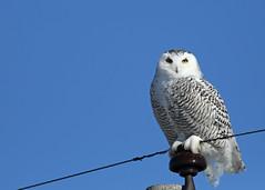 Snowy Owl...#11 (Guy Lichter Photography - 4.4M views Thank you) Tags: canon 5d3 canada manitoba wildlife animal animals bird birds owl owls snowyowl