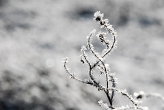 A white day (jimiliop) Tags: white snow ice frozen nature grass flowers bokeh closeup january light