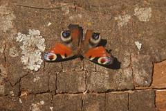 Butterfly 002 (danvartanian) Tags: magura nature landscapes