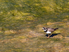 Common Ringed Plover (Wild Chroma) Tags: charadrius hiaticula charadriushiaticula plover waders birds nonpasserines ludo algarve portugal riaformosa