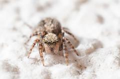 Jumping spider (Robert Körner) Tags: nikon elnikkor el nikkor 128 28 50mm 50 mm vergröserungsobjektiv m39 ovp springspinne spinne supermacro extreme macro d7000
