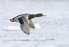 Mallard Drake (a56jewell) Tags: a56jeell water ice march spring duck drake mallard portdover flight fly