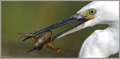 Garzetta (Egretta garzetta ) con Gambero della Louisiana (Procambarus clarkii) (vespa90ss) Tags: uccelli bird aves ardeidi littleegret seidenreiher 白鹭 garceta egret البلشونالأبيض эгрет garça aigrette reiher 白鷺 czapla ερωδιόσ
