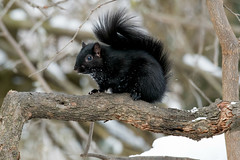 squirrel black (Mel Diotte) Tags: black squirrel wild nature mel diotte explore