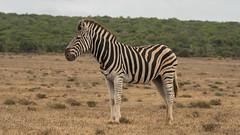 DSC08806 (Paddy-NX) Tags: 2019 20190109 addoelephantnationalpark africa sony sonya77ii sonyalpha sonyalphaa77ii sonysal70300g southafrica wildlife zebra