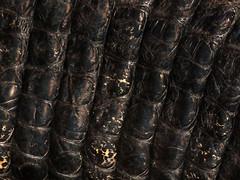 American alligator (Alligator mississippiensis) female upper tail close up (shadowshador) Tags: american alligator mississippiensis neomura eukaryota opisthokonta holozoa filozoa animalia eumetazoa bilateria deuterostomia chordata vertebrata gnathostomata tetrapoda tetrapod tetrapods reptilia diapsida archosauromorpha crurotarsi crocodylomorpha crocodilia eusuchia alligatoroidea alligatoridae alligatorinae taxonomy scientific classification biology herpetology black