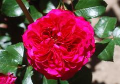 Anbetung dir, dem Lamme (amras_de) Tags: rose rosen ruža rosa ruže rozo roos arrosa ruusut rós rózsa rože rozes rozen roser róza trandafir vrtnica rossläktet gül blüte blume flor cvijet kvet blomst flower floro õis lore kukka fleur bláth virág blóm fiore flos žiedas zieds bloem blome kwiat floare ciuri flouer cvet blomma çiçek