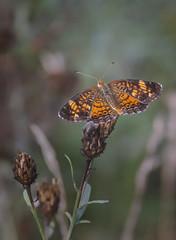 Flying Lace (Portraying Life, LLC) Tags: michigan unitedstates pentax k1 da3004 hd14tc butterfly handheld nativelighting closecrop highiso ricoh meadow summer warm