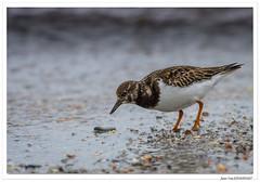 Jours de grève : manger ! (C. OTTIE et J-Y KERMORVANT) Tags: nature animaux oiseaux limicole tournepierreàcollier finistère paysbigouden bretagne france