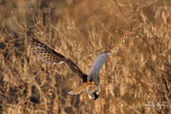 Barn Owl Flies Away With Prey (dcstep) Tags: dsc6168dxo owl barnowl bif birdinflight flying flight fly wing feathers tan brown sonya9 fe400mmf28gmoss handheld cherrycreekstatepark colorado usa greenwoodvillage allrightsreserved copyright2019davidcstephens dxophotolab221