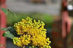 P1150369 (harryboschlondon) Tags: plantstreesandflowers naturephotography nature botanical botanicalphotography england englandphotography flowers flowersphotography harrybosch harryboschflickr harryboschphotography harryboschlondon march2019 march 2019 18thmarch2019 forbury yellow