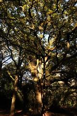 Oak tree on St Martha's Hill, Surrey 2 (Leimenide) Tags: oak tree england st marthas hill surrey north downs way wood forest autumn