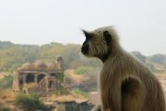 just 1 (daniel virella) Tags: monkeys ranthambore ranthamborefort रणथम्भोरदुर्ग unesco hillfortsofrajasthan rajasthan worldheritagesite india bharat राजस्थान भारत picmonkey langur indianlangur greylangur