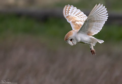 Barn Owl (Steve (Hooky) Waddingham) Tags: stevenwaddinghamphotography animal countryside coast bird british barn nature northumberland voles mice flight wild wildlife prey