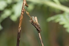 IMG_3017  Lophoruza lunifera (Moore, 1885)明蝠裳蛾 (vlee1009) Tags: 2019 60d canon january taipei taiwan yangmingshannationalpark moths caterpillars