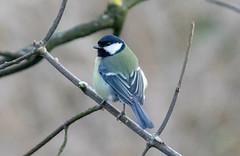 Great Tit (Liam Waddell) Tags: bird bogside sssi irvine ayrshire scotland sky
