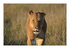 Lionne Narok Masai Mara (Claire PARMEGGIANI Photos) Tags: africa africangallery africanlife africanwildlife bigfive eastafrica gamedrive kenya lions safari tsavo wildlife bigcats wildafrica