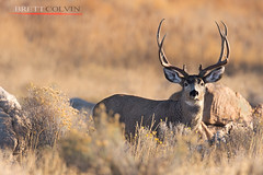 Growing up Tall (Fly to Water) Tags: mule deer odocoileus hemionus buck juvenile satellite 3x4 male outdoors wild wildlife professional photography sunrise gold golden light hour tall antlers management