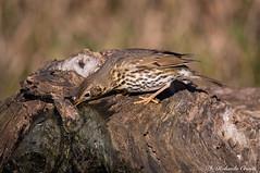 Tordo bottaccio _001 (Rolando CRINITI) Tags: tordobottaccio uccelli uccello birds ornitologia avifauna castellettomerli natura