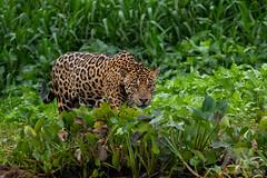 Focused (fascinationwildlife) Tags: animal mammal wild wildlife nature natur pantanal river cuiaba male predator jaguar cat feline brazil brasilien south america banks patrol elusive