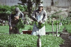 Sumida Watercress Farm, Oahu, Hawaii. (Corey Rothwell) Tags: farm workers watercress vegetables green plants