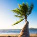 Palm Tree - Mission Beach