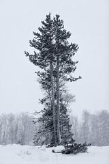 Blowing Snow (Tony Hochstetler) Tags: nikon d850 nikonafsnikkor24–70mmf28eedvr grandtetonnationalpark grandteton nationalpark wyoming snow trees pine bw blackandwhite monotone mono monochromatic vertical landscape