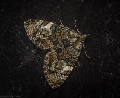 Heterochasta lasioplaca (dustaway) Tags: arthropoda insecta tamborinemountain mounttamborine australianinsects australianwildlife sequeensland queensland australia natur nature