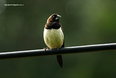 IMG_6239 White-rumped Munia (Lonchura striata) (vlupadya) Tags: greatnature animal aves fauna indianbirds whiterumped munia lonchura kundapura karnataka