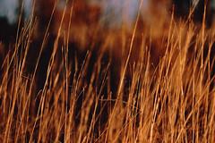 Golden Fields - St. Croix State Park, Minnesota (Tony Webster) Tags: minnesota saintcroixstatepark stcroixstatepark autumn bokeh fall field golden statepark winter crosbytownship unitedstates us