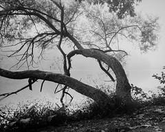 Reaching out (Joe_R) Tags: lakeelkhorn fog aristaedu100 water 4x5 iso100 graflexcrowngraphic bw maryland film largeformat columbia