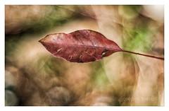 la fulla (Josep M.Toset) Tags: arbres bosc camí catalunya d800 fulles josepmtoset plantes nikon bokeh colors muntanya hivern verd vermell meyeroptikgorlitzoreston50mmf18