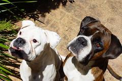 Full Attention (busyBlueMtsGranny) Tags: ddogchal boxer dog