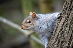 A nosey grey squirrel (vickyouten) Tags: greysquirrel squirrel nature wildlife britishwildlife wildlifephotography nikon nikond7200 nikonphotography nikkor55300mm penningtonflash leigh uk vickyouten