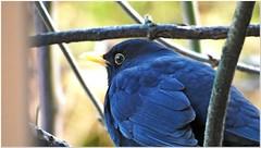 I am freezing! (MaxUndFriedel) Tags: nature bird blackbird winter cold january twig