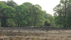 DSC_8071x_00001 (frans.oost) Tags: dawn sunrise filed cow animal tree landscape
