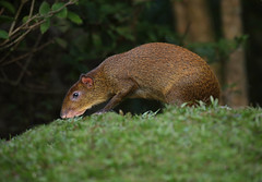 Agouti (ashockenberry) Tags: ashleyhockenberryphotography animal reserve river travel tourism habitat herbivore jungle majestic mammal mountains nature naturephotography wildlife wildlifephotography wild wilderness rainforest landscape trees forest native beautiful beauty vacation rodent agouti costa rica tropical