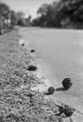 Cones (PositiveAboutNegatives) Tags: nikon slr vintagecamera nikonf eyelevel plainprism 58mm cosinavoigtlander cv58mmf14 film analog bw blackandwhitefilm foma fomapan fomapan100 rodinal standdeveloping coolscan pinecones