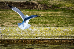 Atterrissage contrôlé (thierrybalint) Tags: oiseau bird gabian eau water parc borely marseille park nikon nikoniste balint thierrybalint